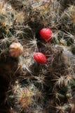 Cactus fruit Stock Images