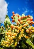 Cactus Fruit, blue sky. Fresh Raw desert cactus fruit against blue sky royalty free stock photos