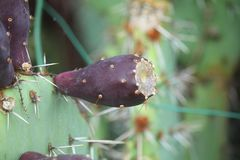 Cactus fruit. A cactus fruit in the garden royalty free stock photos