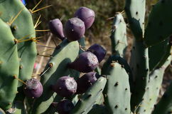 Cactus fruit. Growing in Punjab, India Royalty Free Stock Photography