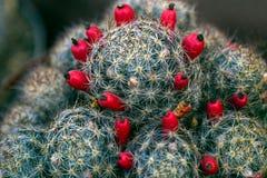 Cactus fruit Royalty Free Stock Photos