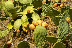 Cactus fruit, Moclin, Granada, Andalusia, Spain Royalty Free Stock Photos