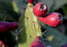 CACTUS WITH FRUIT royalty free stock photography