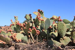 Cactus with fruit Royalty Free Stock Photo