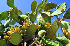 Cactus fruit - prickly pear. The prickly pear grows widely on the islands of Malta, where it is enjoyed by the Maltese as a typical summer fruit Stock Photo