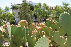 Cactus fruit. Ripe cactus fruit in Greece stock photos