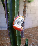 Cactus Fruit with Seeds Royalty Free Stock Image