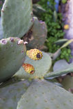 Cactus fruit. View of a cactus fruit and plant stock images