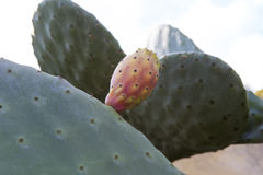 Cactus fruit. View of a cactus fruit and plant stock image