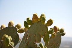Cactus fruits Royalty Free Stock Image