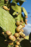 Cactus fruits Stock Photo