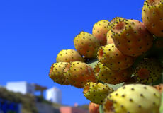 Cactus Fruits. Colourful prickly pear cactus fruits against a bright blue sky on Greek island Royalty Free Stock Photography