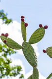 Cactus fruits Royalty Free Stock Images