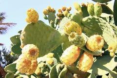 Cactus with fruits. Yellow opuntia. Stock Photos
