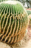 Cactus is a fungal disease,Rust cactus Royalty Free Stock Photography