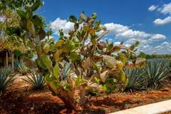 Cactus géant sur le fond photo libre de droits