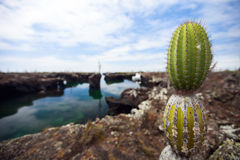 Cactus at Galapagos Los Tuneles Royalty Free Stock Images
