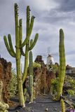 Cactus garden. Tall cactus in a cactus garden with a windmill in the background in the Canary Islands stock photo