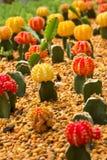 Cactus Garden. Plenty of Colorful Cactus in the Botanic Garden Royalty Free Stock Photo