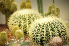Cactus in the garden. Close-up of cactus in the garden, selective focus Stock Image