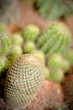 Cactus in the garden. Close-up of cactus in the garden, selective focus Royalty Free Stock Images