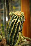 Cactus in the garden. Close-up of cactus in the garden, selective focus Royalty Free Stock Photo
