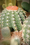 Cactus in the garden. Close-up of cactus in the garden, selective focus Royalty Free Stock Image