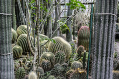 Cactus in the garden. Barrel cactus in the garden royalty free stock image