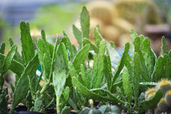 Cactus in the garden Royalty Free Stock Photo