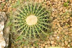 Cactus in the garden. Stock Photos