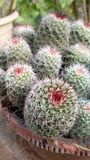 Cactus. Garden from bonsai cactus plant depicting natural beauty of patterns Stock Image
