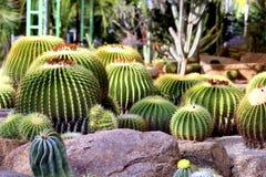 Cactus garden. Green ball cactus on the garden Royalty Free Stock Image