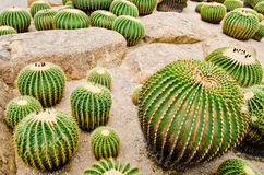 Cactus garden. Cactus in a greenhouse in the garden Thailand royalty free stock photo