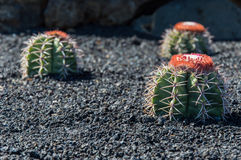 Cactus Garden, Lanzarote, Spain Royalty Free Stock Photo