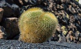 Cactus Garden, Lanzarote, Spain royalty free stock image