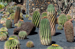 Cactus Garden, Lanzarote, Spain Stock Photos