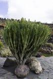 Cactus Garden in Lanzarote Royalty Free Stock Photos