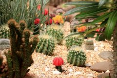 Cactus garden. They usually have leafless stems and branches, often beset with clustered thorns Stock Images