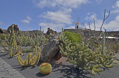 Cactus garden with a windmill on the hill - Lanzarote. A view of the Cesar Manrique cactus garden in Guaiza on Lanzarote. A popular tourist attraction Royalty Free Stock Photos