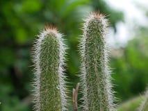 Cactus gemellato fotografie stock