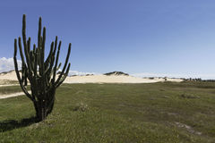 Cactus - Genipabu beach and dunes in Natal, RN, Brazil Royalty Free Stock Image