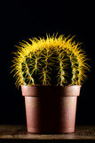 Cactus giallo in vaso marrone Fotografia Stock
