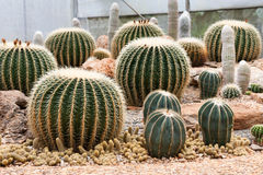Cactus. Giant cactus in Royal Agricultural Station Angkhang, Chiangmai, Thailand Royalty Free Stock Photography