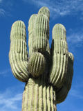 Cactus gigante Immagini Stock Libere da Diritti