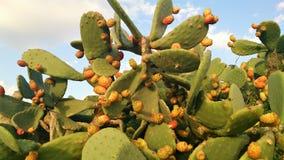 Cactus gigante con le bacche contro il cielo Fotografia Stock