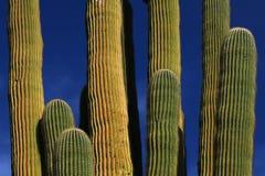 Cactus gigante del Saguaro Immagine Stock Libera da Diritti