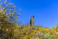 Cactus gigante in fiore fotografie stock libere da diritti