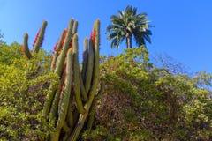 Cactus gigante in fiore immagini stock libere da diritti