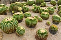 Cactus gigante nel giardino botanico tropicale di Nong Nooch, Tailandia Fotografie Stock Libere da Diritti