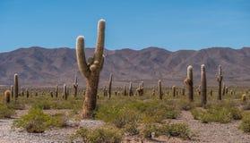 Cactus gigantes de Suramérica Imágenes de archivo libres de regalías